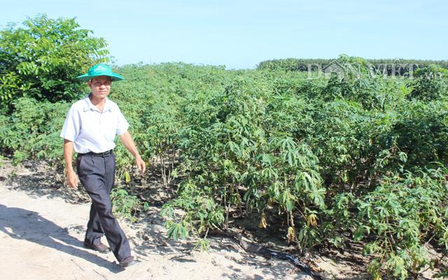 Vùng trồng mì sắp vào vụ thu hoạch ở huyện Tân Châu (Tây Ninh)