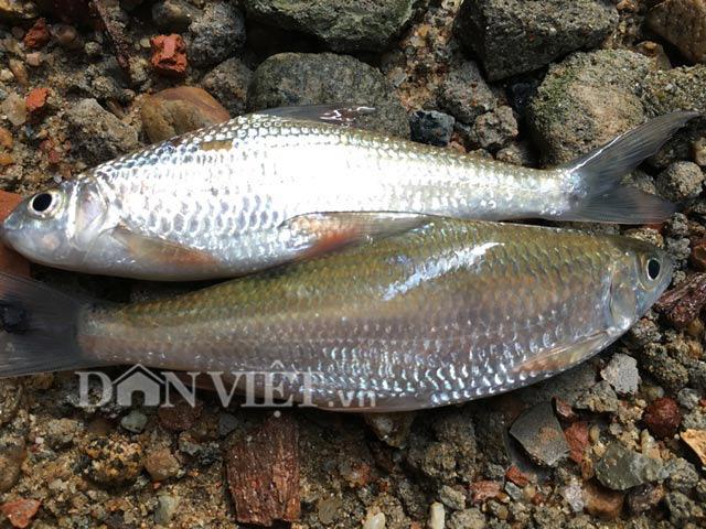 """Bình Định: Loài cá chỉ vượt thác để sinh sản, ăn cùng với loại rau tên nghe bắt tai, bán """"đắt như tôm tươi"""" - Ảnh 2."""
