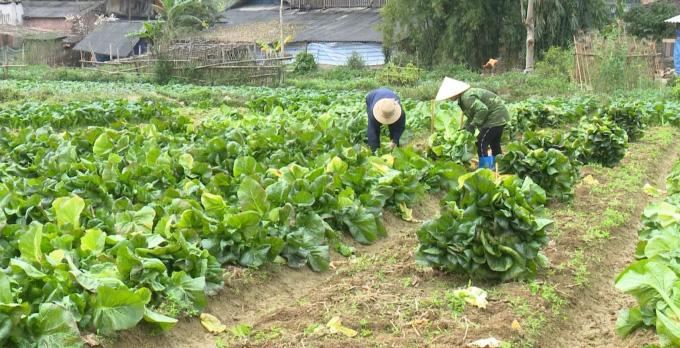 Bắc Cạn: Trồng giống rau cải khổng lồ, 2 tháng nặng 2,5kg/cây, Nhật Bản mua tới tấp - Ảnh 1.
