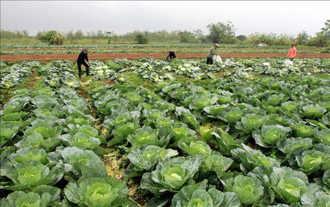 """Thái Bình: Hàng trăm tấn bắp cải nằm ngoài đồng, nông dân loay hoay chờ """"giải cứu"""" - Ảnh 1."""