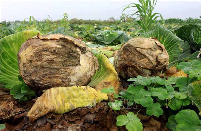 """Thái Bình: Hàng trăm tấn bắp cải nằm ngoài đồng, nông dân loay hoay chờ """"giải cứu"""" - Ảnh 2."""