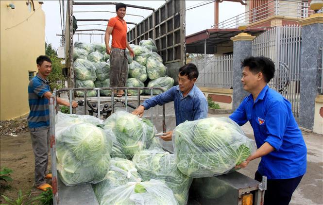 """Thái Bình: Hàng trăm tấn bắp cải nằm ngoài đồng, nông dân loay hoay chờ """"giải cứu"""" - Ảnh 3."""