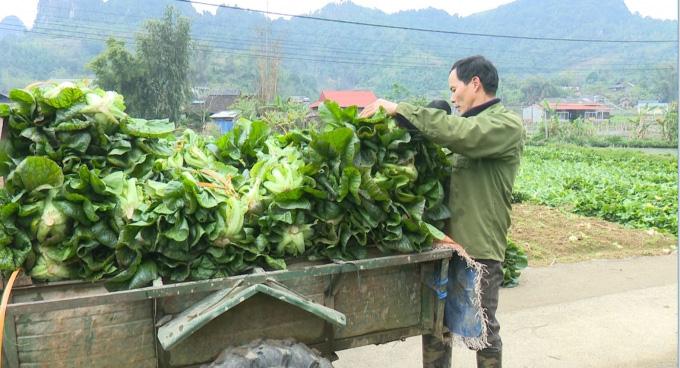 Bắc Cạn: Trồng giống rau cải khổng lồ, 2 tháng nặng 2,5kg/cây, Nhật Bản mua tới tấp - Ảnh 2.
