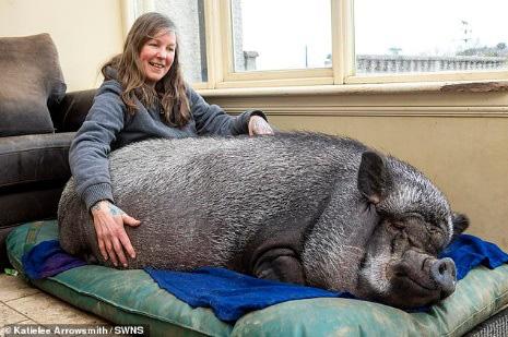 Chuyện lạ: Lợn ỉ Việt Nam nặng 130 kg được nuôi làm thú cưng suốt 3 năm qua - Ảnh 3.