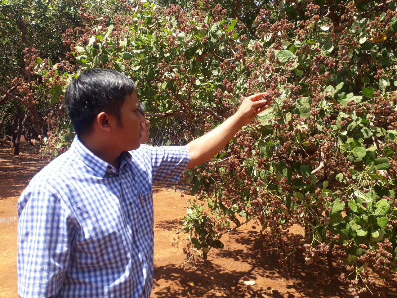 Hàng nghìn nông dân lo lắng mất mùa vì điều ra quả ít dù rất nhiều hoa - Ảnh 2.