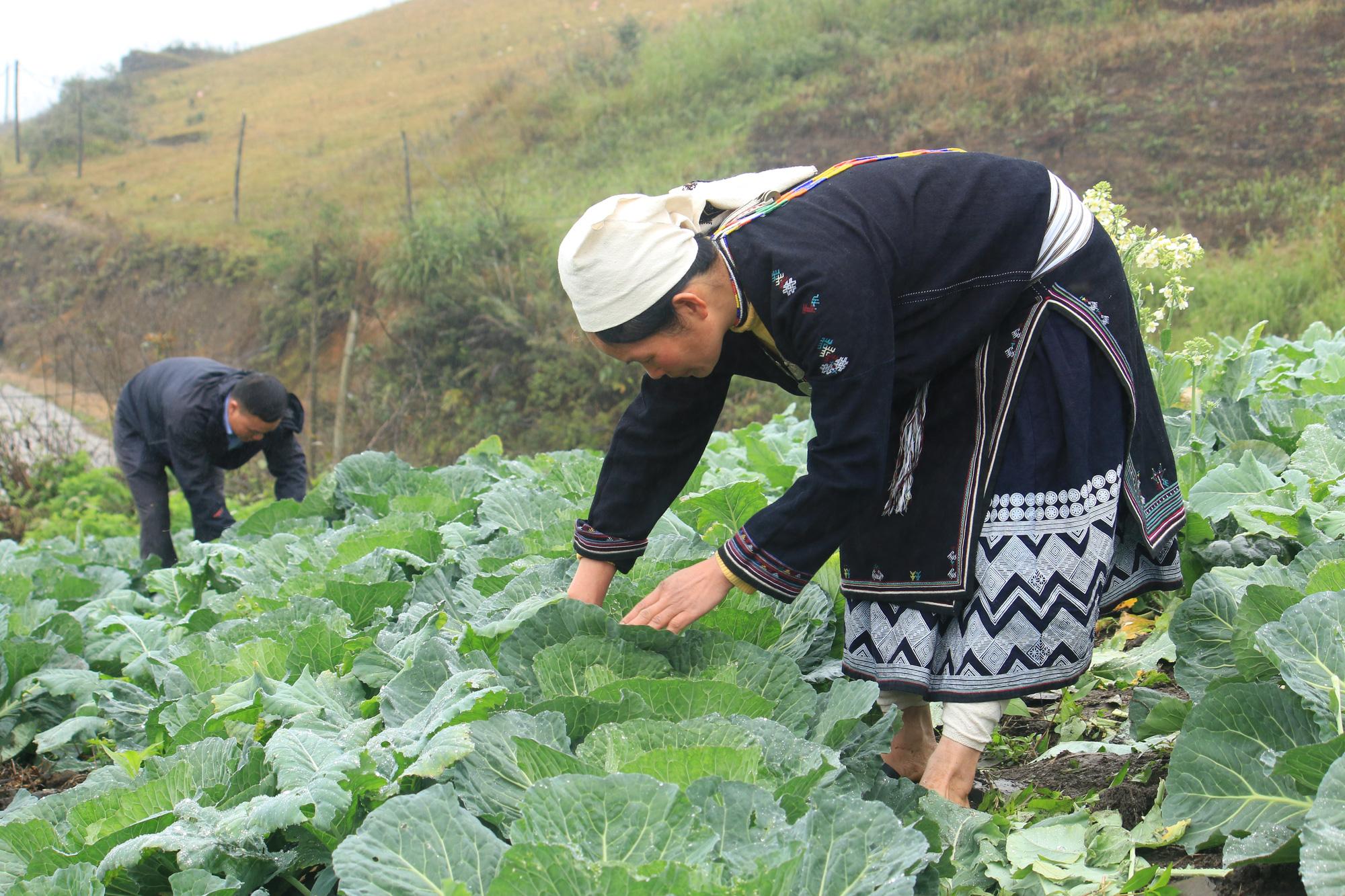 Tuyên Quang: Trồng rau hữu cơ trên đỉnh Kia Tăng thu nhập tăng gấp 3 lần so với trồng ngô, lúa. - Ảnh 1.