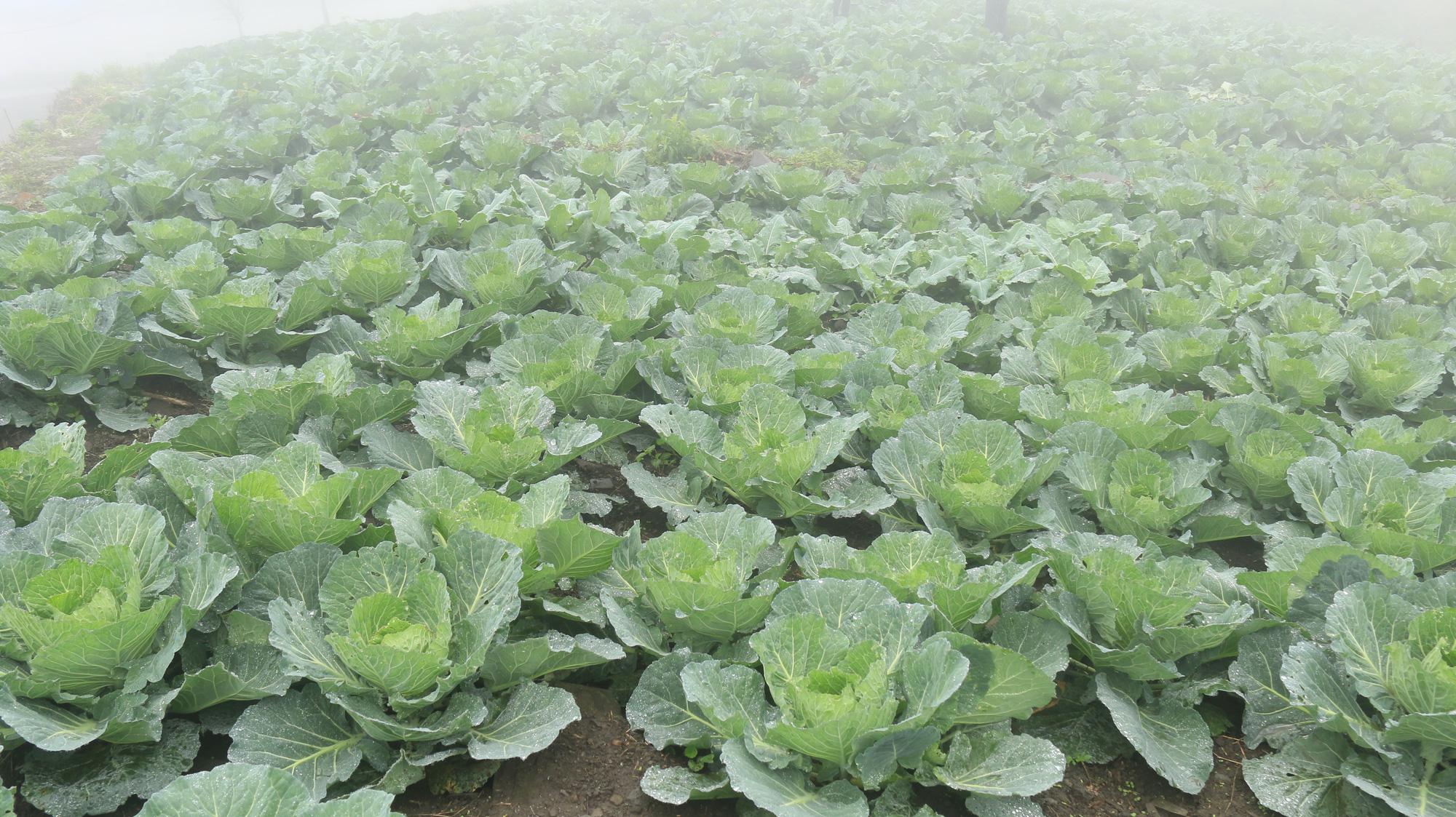 Tuyên Quang: Trồng rau hữu cơ trên đỉnh Kia Tăng thu nhập tăng gấp 3 lần so với trồng ngô, lúa. - Ảnh 5.