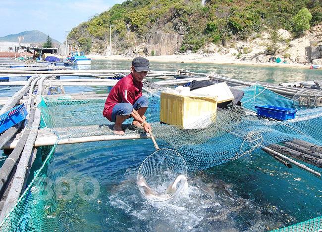 Bình Định: Nuôi loài cá chua trên biển mà ăn lại ngọt lừ, nông dân này vui như Tết vì điều bất ngờ này - Ảnh 1.