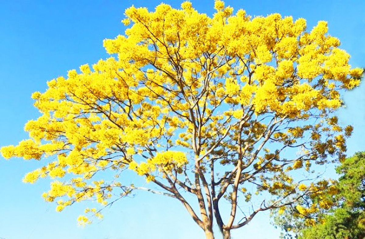 """Lâm Đồng: Độc đáo với hoa phượng vàng nở bung, """"tỏa nắng"""" khiến du khách ngẩn ngơ - Ảnh 1."""