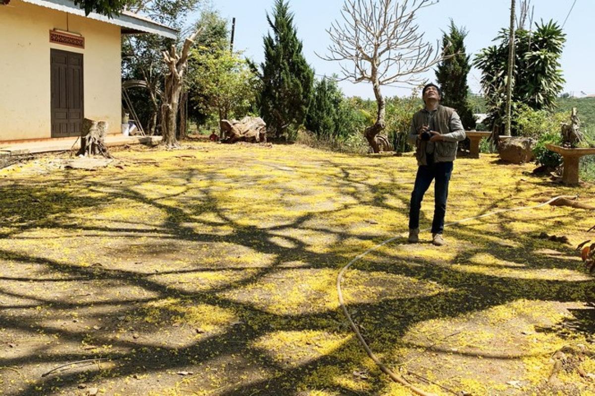 """Lâm Đồng: Độc đáo với hoa phượng vàng nở bung, """"tỏa nắng"""" khiến du khách ngẩn ngơ - Ảnh 7."""
