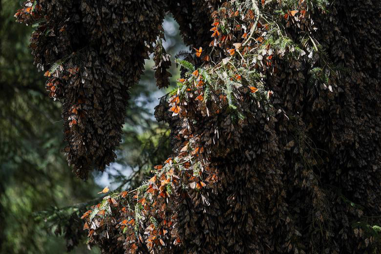 Loài bướm vua tiếp tục giảm - Ảnh 1.