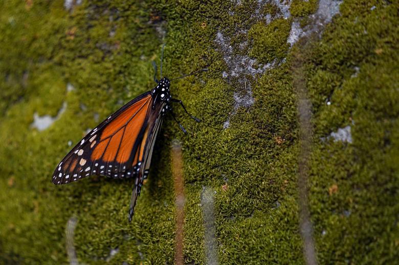 Loài bướm vua tiếp tục giảm - Ảnh 2.