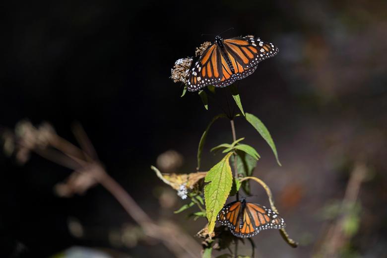 Loài bướm vua tiếp tục giảm - Ảnh 3.
