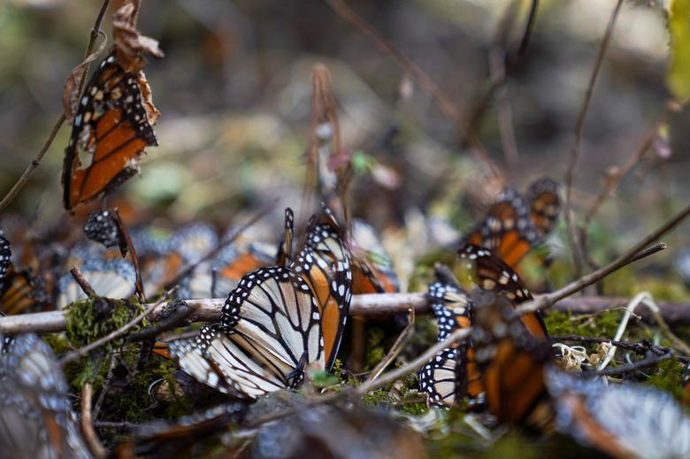Loài bướm vua tiếp tục giảm - Ảnh 4.