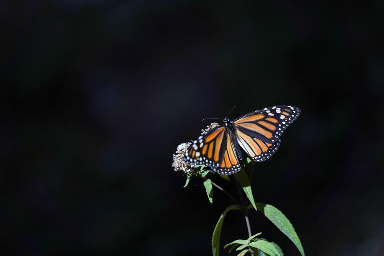 Loài bướm vua tiếp tục giảm - Ảnh 5.
