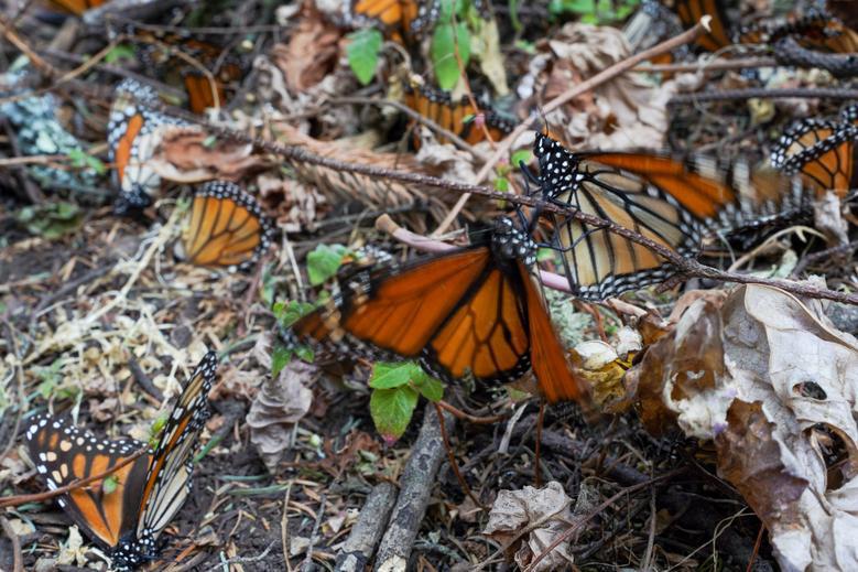 Loài bướm vua tiếp tục giảm - Ảnh 6.