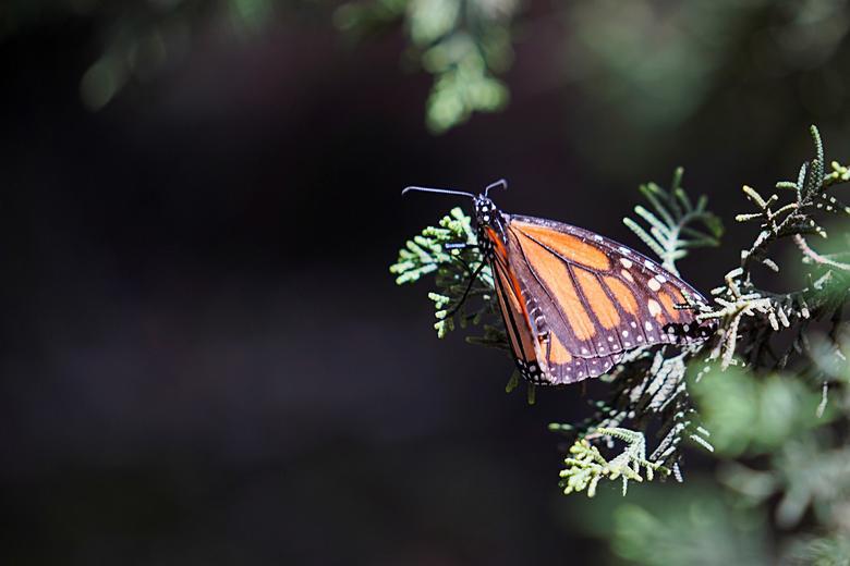 Loài bướm vua tiếp tục giảm - Ảnh 7.
