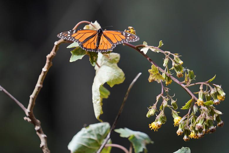 Loài bướm vua tiếp tục giảm - Ảnh 8.