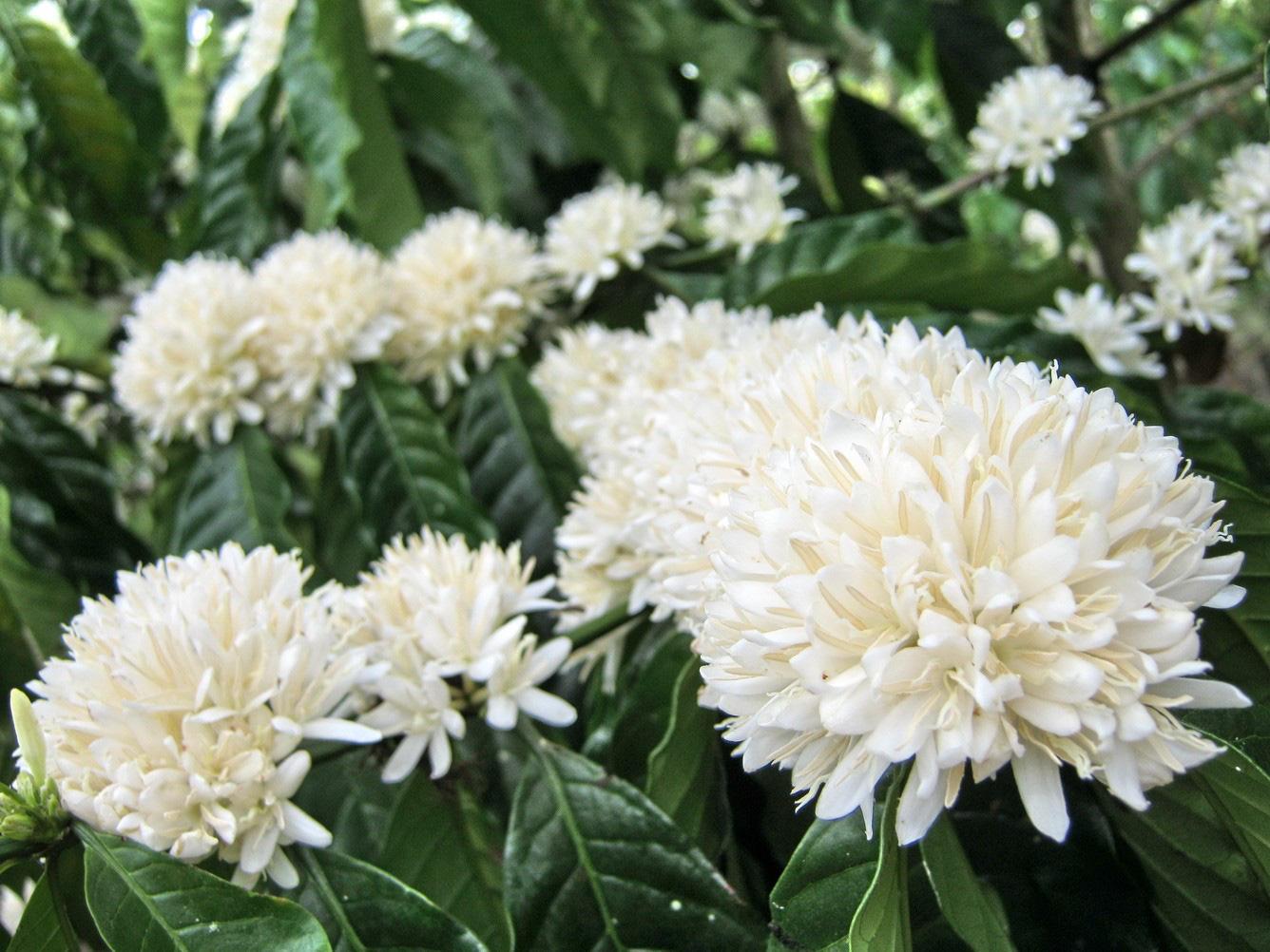 Tháng 3, bạt ngàn sắc trắng tinh khôi hoa cà phê tại đại ngàn Tây Nguyên - Ảnh 1.
