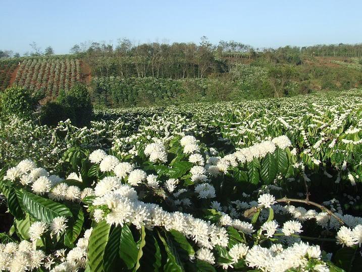 Tháng 3, bạt ngàn sắc trắng tinh khôi hoa cà phê tại đại ngàn Tây Nguyên - Ảnh 3.