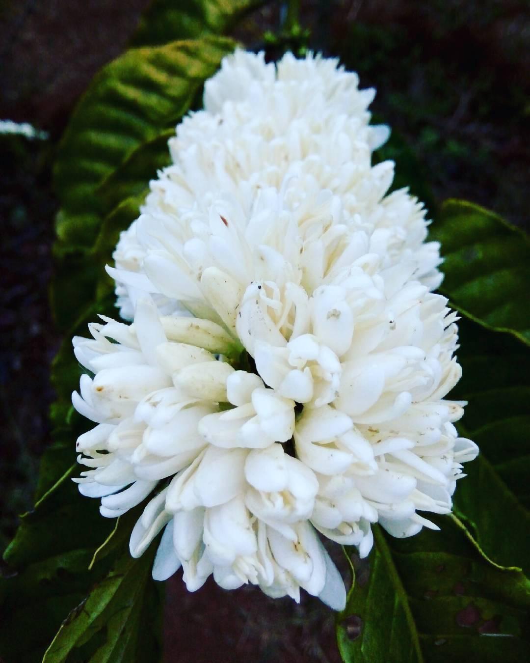 Tháng 3, bạt ngàn sắc trắng tinh khôi hoa cà phê tại đại ngàn Tây Nguyên - Ảnh 4.