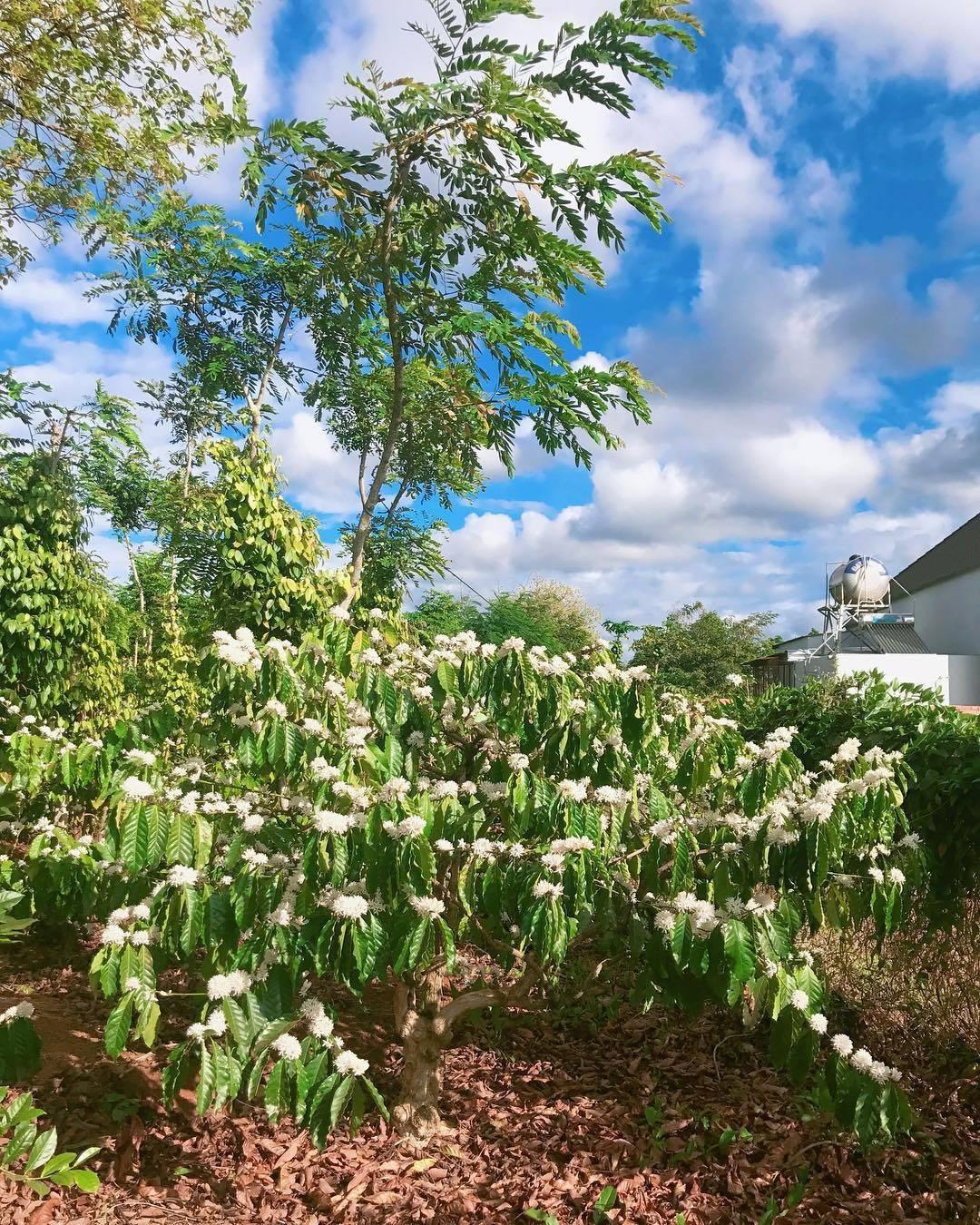 Tháng 3, bạt ngàn sắc trắng tinh khôi hoa cà phê tại đại ngàn Tây Nguyên - Ảnh 6.