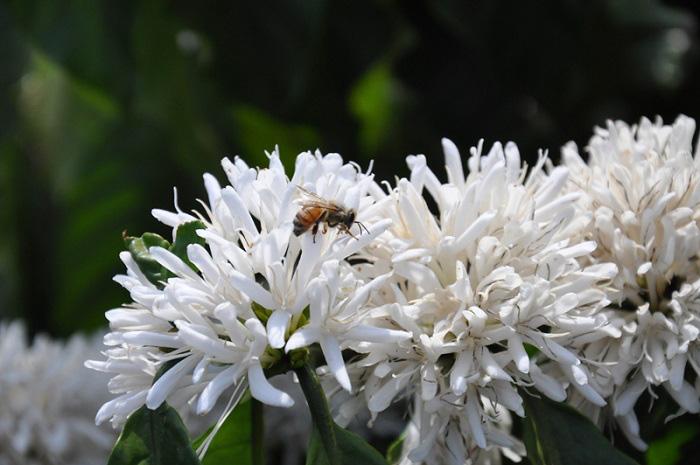 Tháng 3, bạt ngàn sắc trắng tinh khôi hoa cà phê tại đại ngàn Tây Nguyên - Ảnh 2.