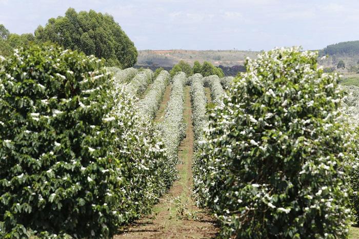 Tháng 3, bạt ngàn sắc trắng tinh khôi hoa cà phê tại đại ngàn Tây Nguyên - Ảnh 7.