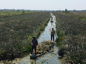 Giá khóm tăng mạnh, nông dân lời 100 triệu đồng/ha - Ảnh 2.