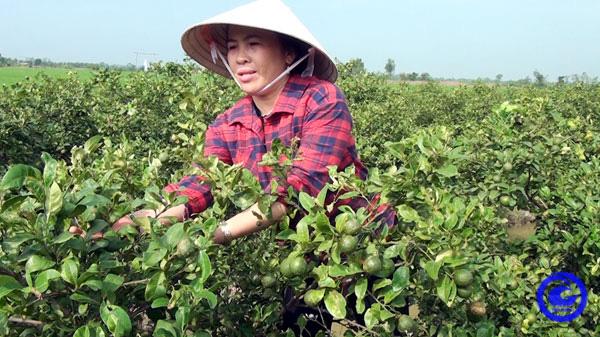 Tiền Giang: Trồng loài cây gì ra trái chùm, bán quả quanh năm, chăm nhàn mà lời 30 triệu/tháng - Ảnh 1.
