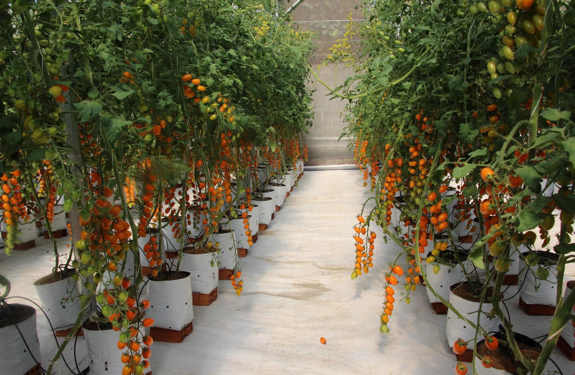 Mê mẩn vườn cà chua Nova công nghệ cao của cô giáo đam mê nông nghiệp sạch - Ảnh 2.