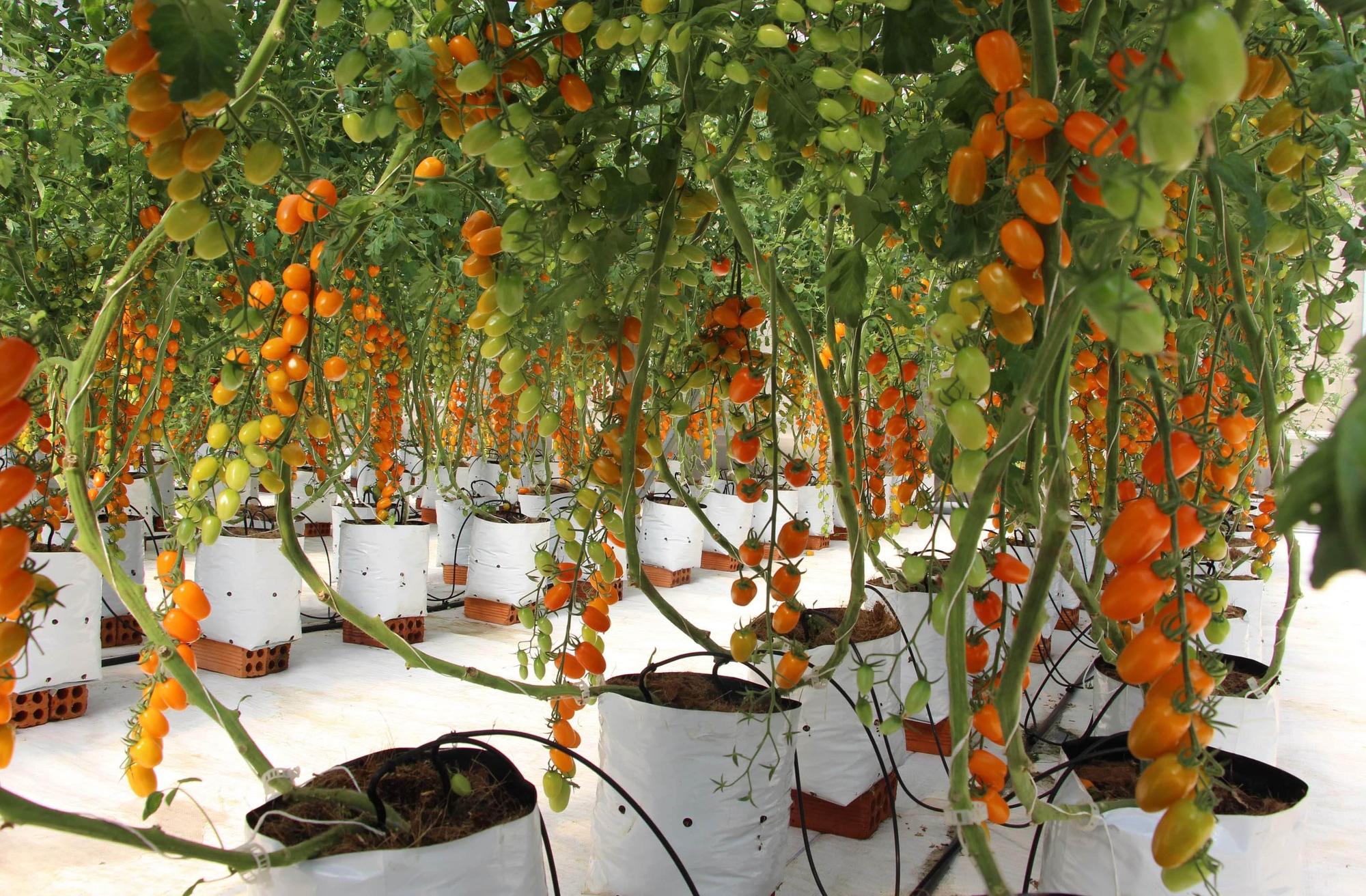 Mê mẩn vườn cà chua Nova công nghệ cao của cô giáo đam mê nông nghiệp sạch - Ảnh 4.