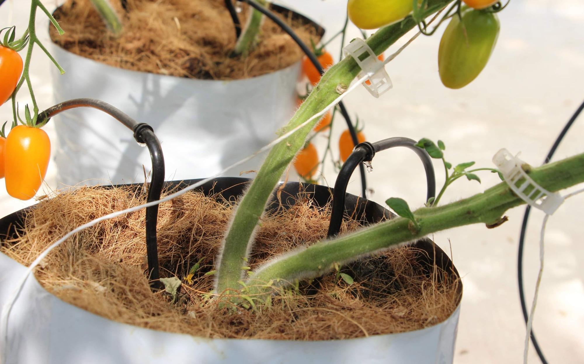 Mê mẩn vườn cà chua Nova công nghệ cao của cô giáo đam mê nông nghiệp sạch - Ảnh 3.