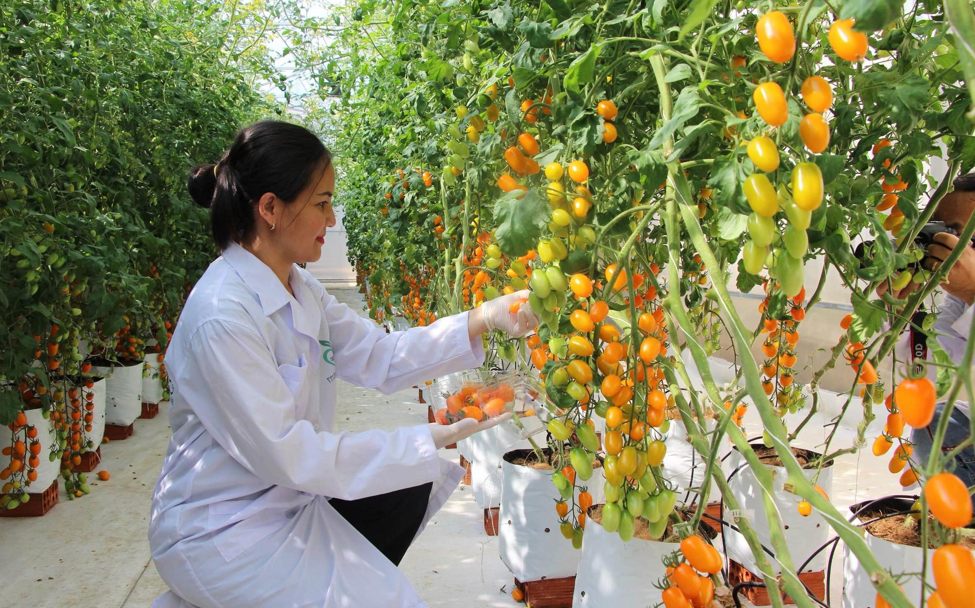 Mê mẩn vườn cà chua Nova công nghệ cao của cô giáo đam mê nông nghiệp sạch - Ảnh 5.