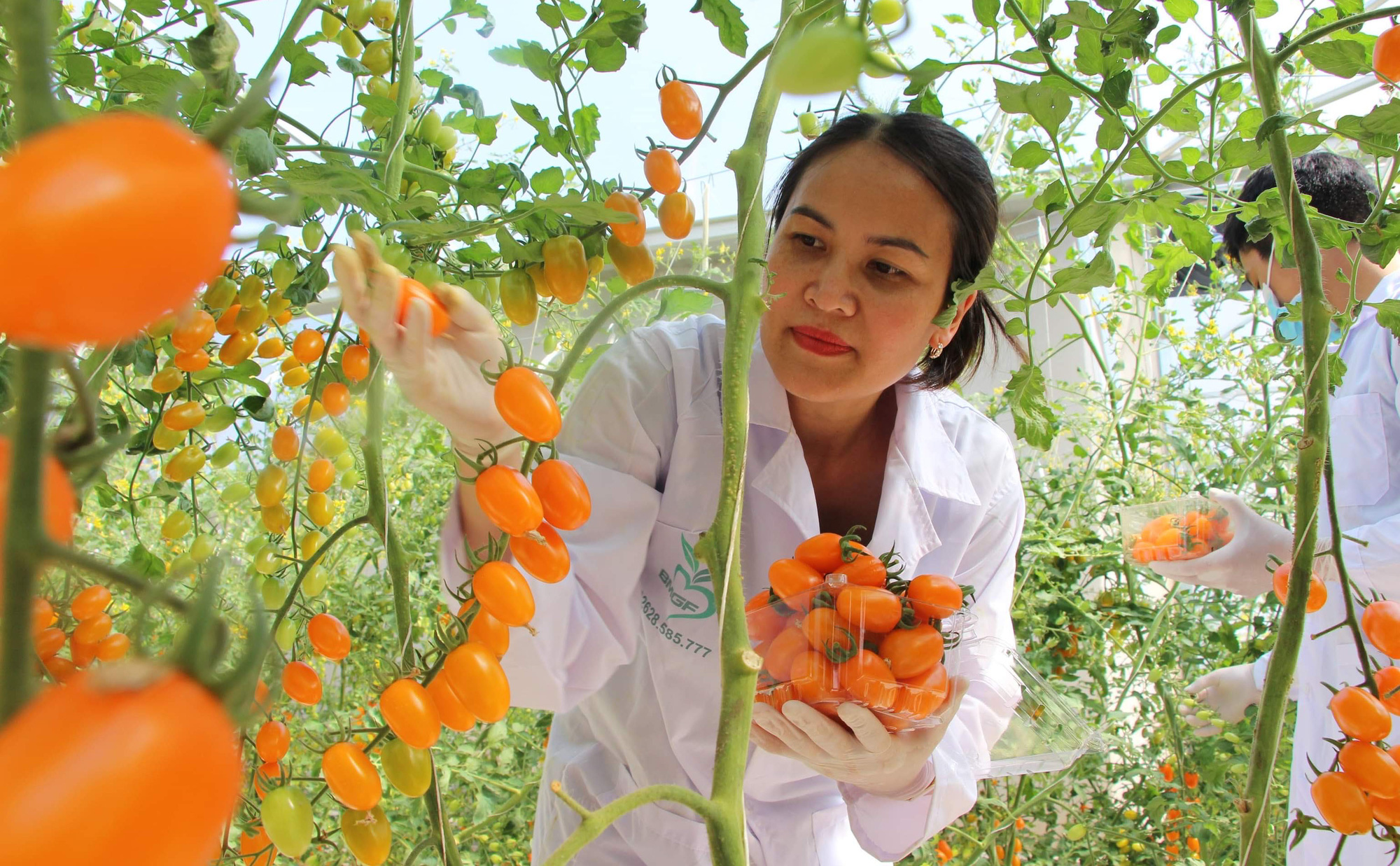 Mê mẩn vườn cà chua Nova công nghệ cao của cô giáo đam mê nông nghiệp sạch - Ảnh 6.