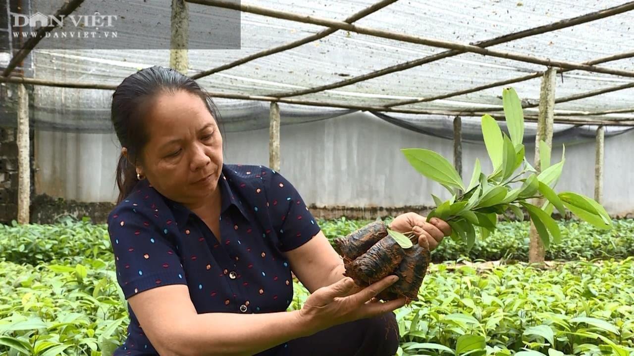 Phú Thọ: Trồng cây vỏ cay, ép lấy tinh dầu nằm tốp đầu các vị thuốc quý giúp bà Vân giàu có - Ảnh 1.