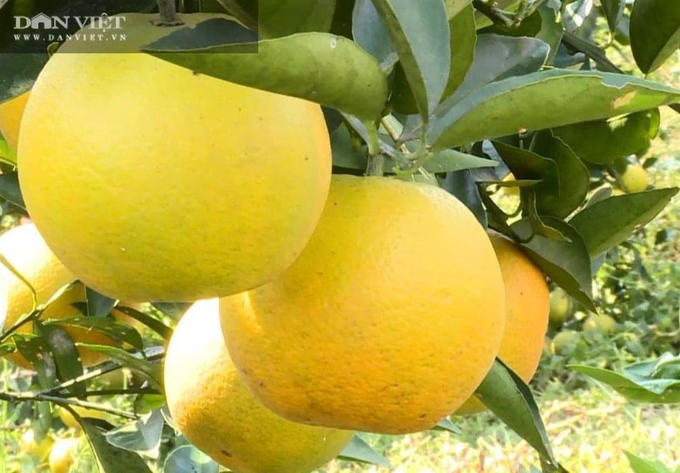 Phú Thọ: Cam V2 là cam gì mà trồng được trên đồi dốc khô cằn, thu 500 triệu đồng/2ha/năm? - Ảnh 4.