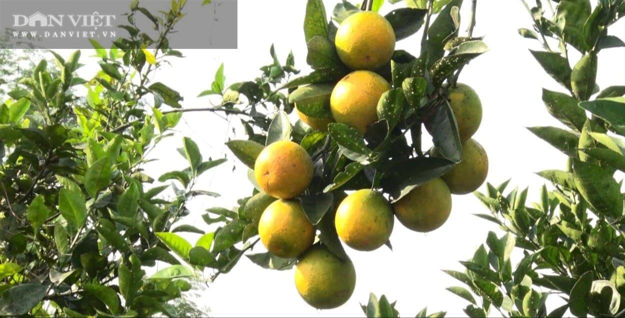 Phú Thọ: Cam V2 là cam gì mà trồng được trên đồi dốc khô cằn, thu 500 triệu đồng/2ha/năm? - Ảnh 2.
