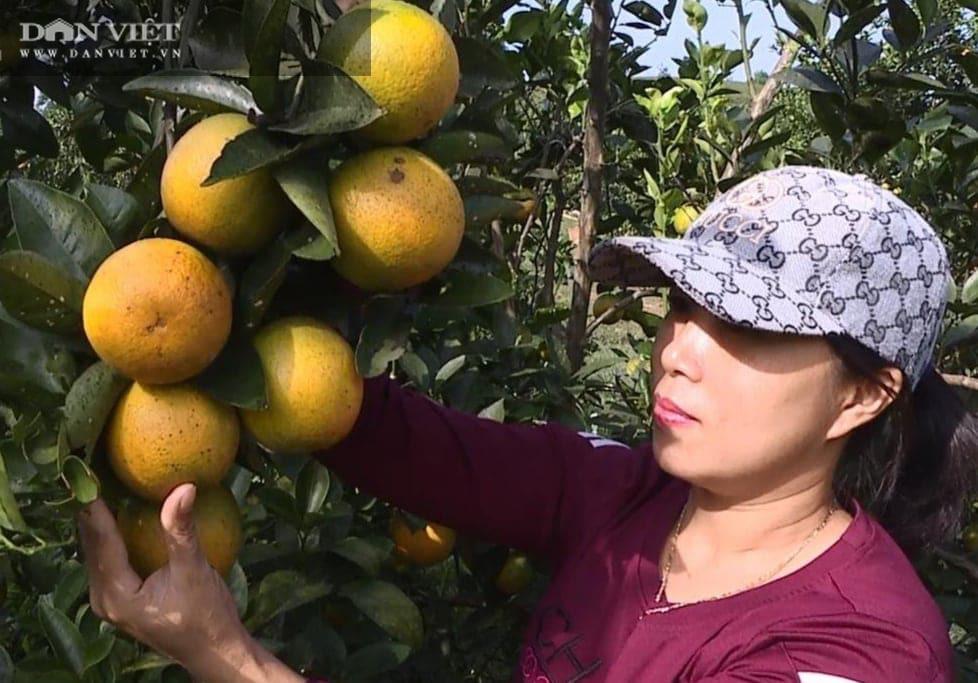Phú Thọ: Cam V2 là cam gì mà trồng được trên đồi dốc khô cằn, thu 500 triệu đồng/2ha/năm? - Ảnh 1.