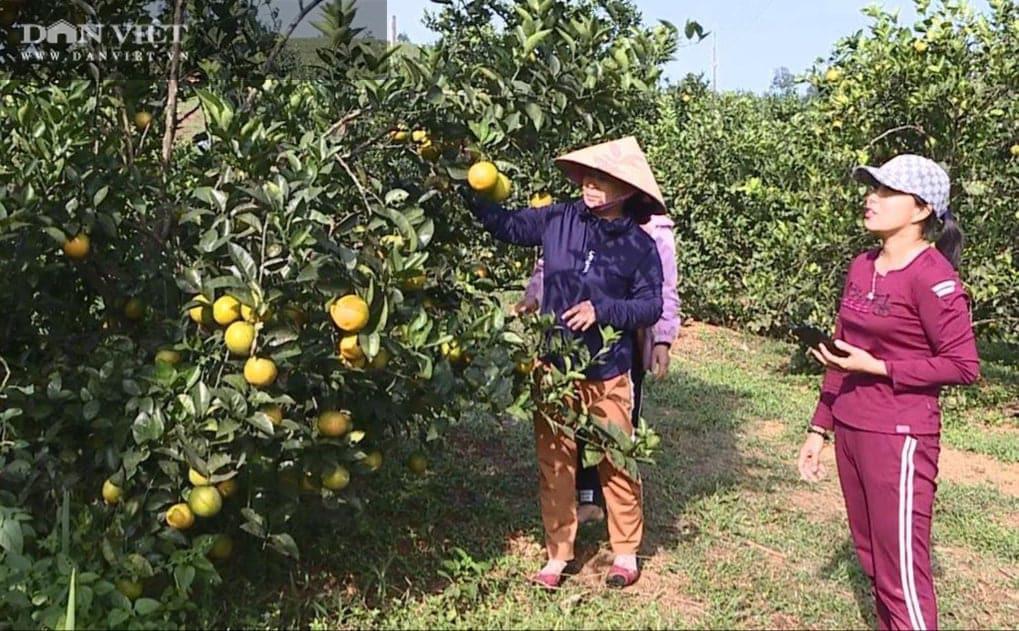 Phú Thọ: Cam V2 là cam gì mà trồng được trên đồi dốc khô cằn, thu 500 triệu đồng/2ha/năm? - Ảnh 3.