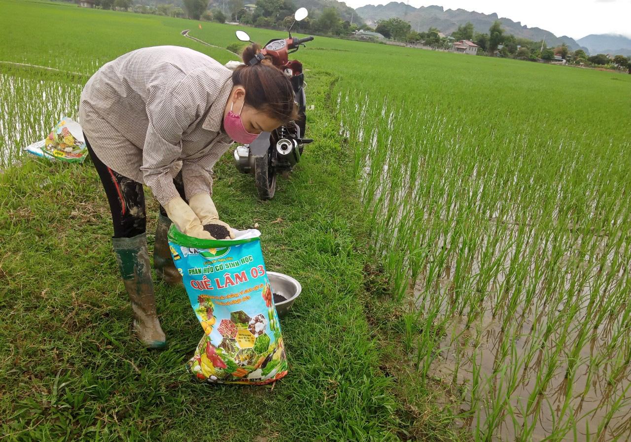 Phù Yên: Trồng lúa hữu cơ, lợi nhuận tăng hơn 8 triệu đồng so với lúa thông thường  - Ảnh 2.