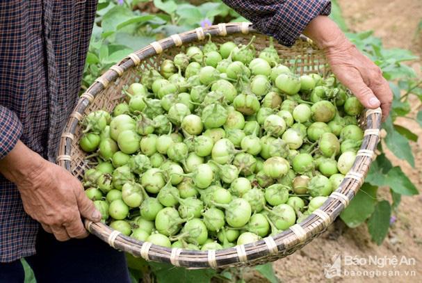 Nghệ An: Trồng thứ quả ướp ăn giòn tan, 4-6 ngày lại thu hoạch 1 lứa, vốn bỏ ra thì ít mà lãi lại cao - Ảnh 3.
