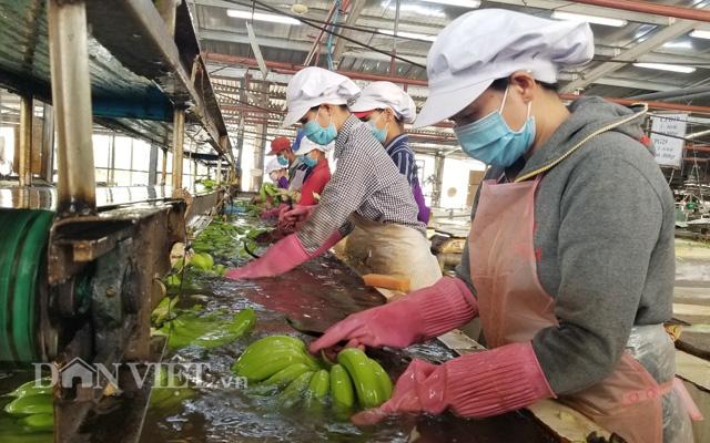 Sản phẩm chuối cấy mô xuất khẩu sang Hàn Quốc, Nhật Bản và Malaysia.