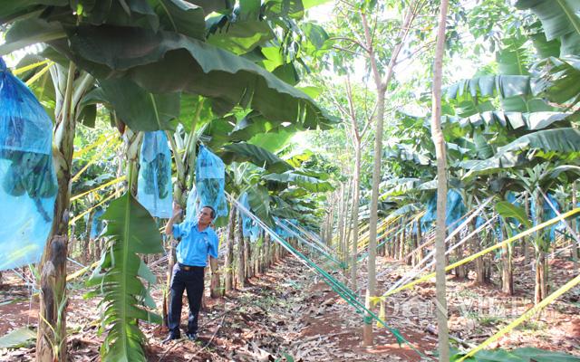 Mô hình trồng chuối xen cao su ở tỉnh Bình Phước