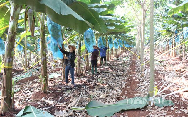 Một hàng chuối sẽ được trồng xen với một hàng cao su