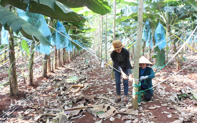 Nhờ tận dụng phân, nước cho cây chuối, cây cao su phát triển nhanh hơn bình thường