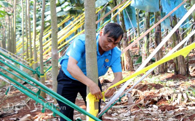 Cao su trồng xen có tốc độ tăng chu vi thân cây nhanh hơn so với vườn cao su trồng chuyên canh