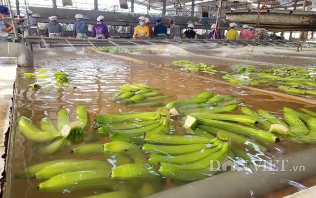 Ở công ty TNHH MTV Cao su Dầu Tiếng (Bình Dương), chuối được trồng chuyên canh