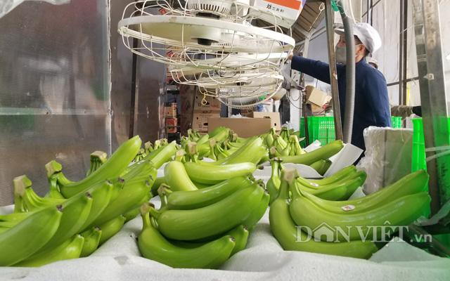 Sơ chế chuối tươi xuất khẩu ở công ty TNHH MTV Cao su Dầu Tiếng (tỉnh Bình Dương)