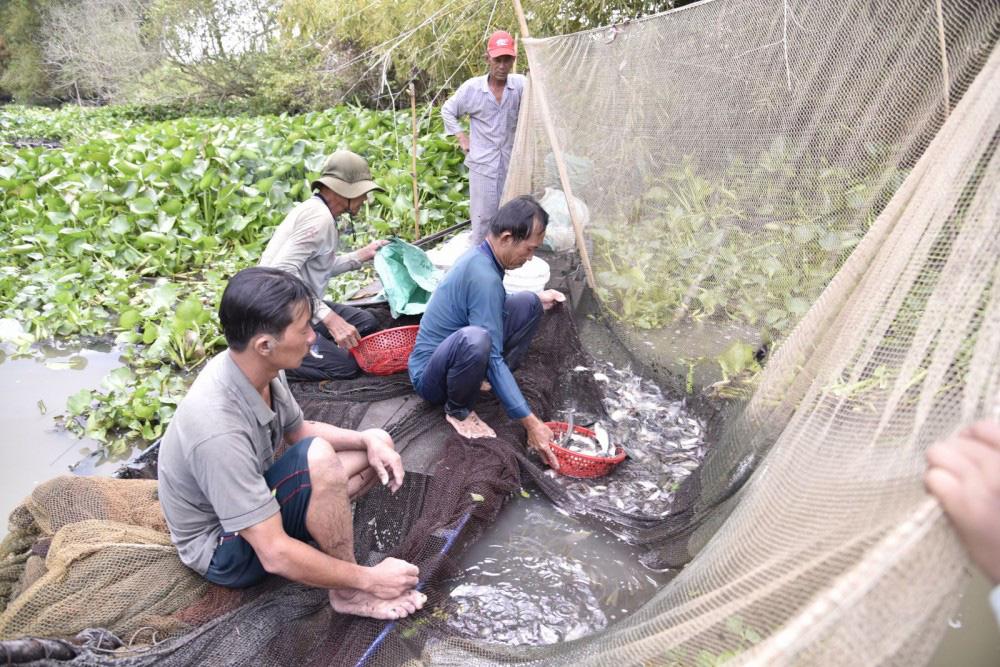 Kiên Giang: Vùng đất này dân ra kênh dỡ chà bắt cá, cá to cá nhỏ nhảy lao xao, ai đi qua cũng xuýt xoa - Ảnh 1.